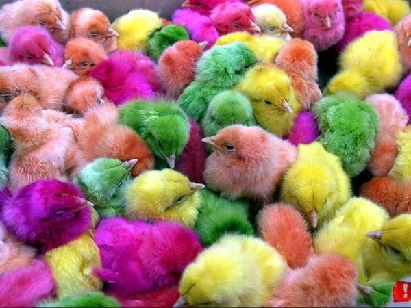 Цыплята после фотошопа